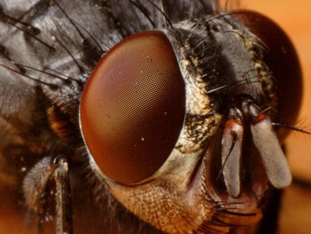 Auge einer Schmeißfliege | Bild von א (Aleph)