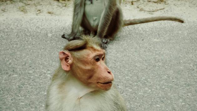 Festnetz-Internet: Affen behindern Breitband-Ausbau in Indien