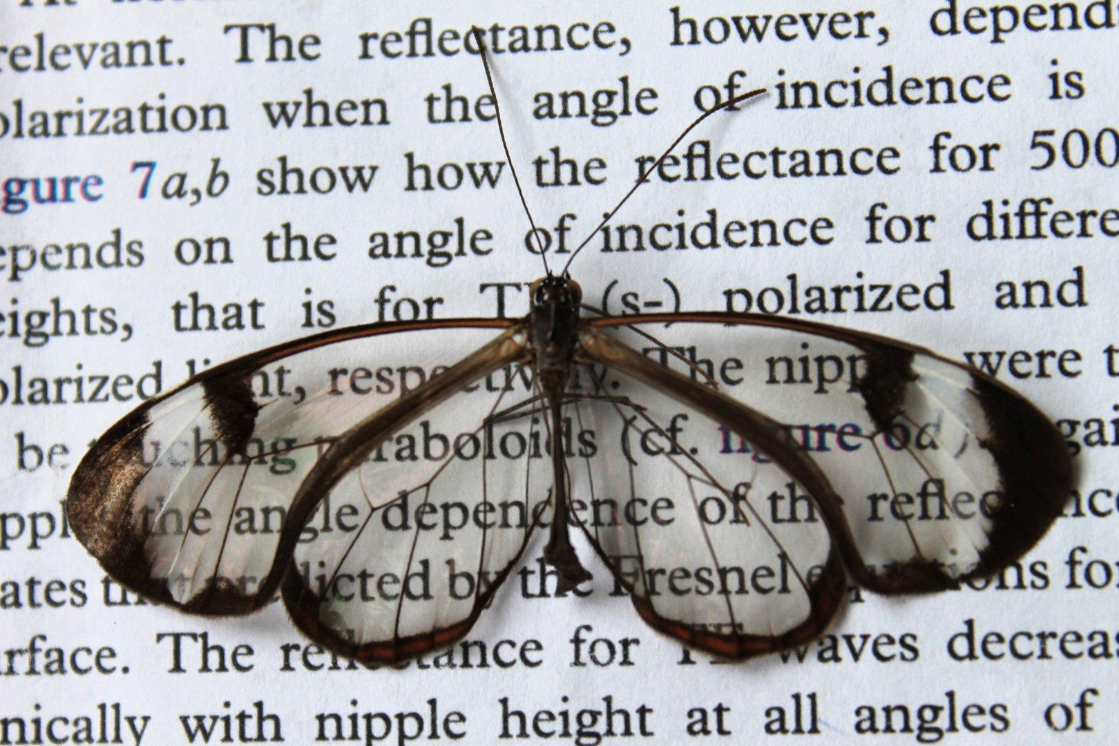 Reflexionsarme Fluegel machen Schmetterlinge fast unsichtbar