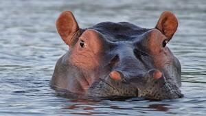 """Ubuntu 21.04 (""""Hirsute Hippo""""): Haariges Nilpferd taucht am 22. April mit Gnome 3.38 auf"""