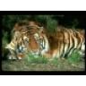 tiger2357