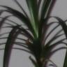drachenpalme